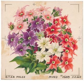 Star Phlox Watercolor