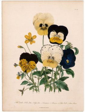 Hand-colored Pansy Lithograph