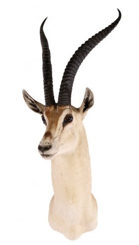 Good Impala Taxidermy Mount