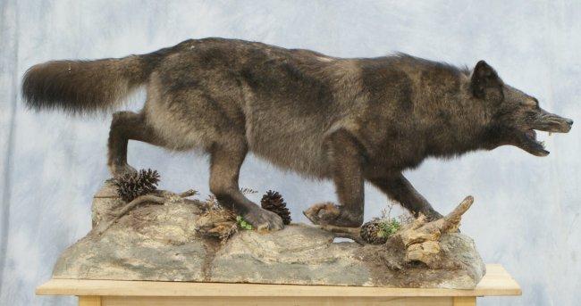Grey Wolf Full Body Mount Dark Gray White On Lot 12701a