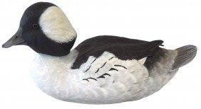 Decoy, Bufflehead Drake Carved By Greg Curless-Ma