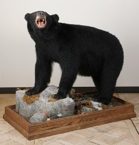 Full Size Black Bear Mount