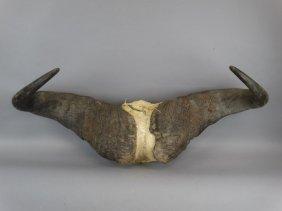 Cape Buffalo Horn Set