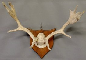 "Set Of Elk Antlers Mounted On A Wood Plaque. 23""h."