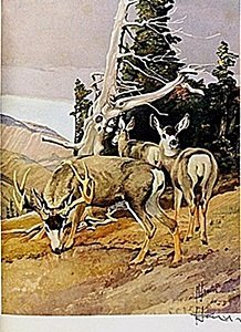 """Lithograph """"the Mule Deer"""" By Artist Francis Lee Jaques"""