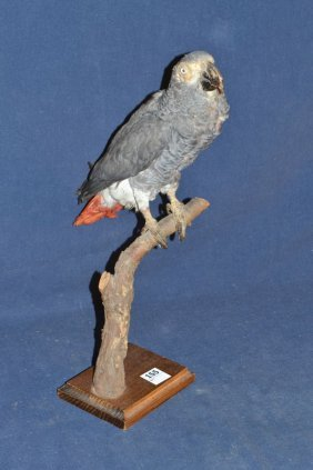 Taxidermied Parrot On Perch