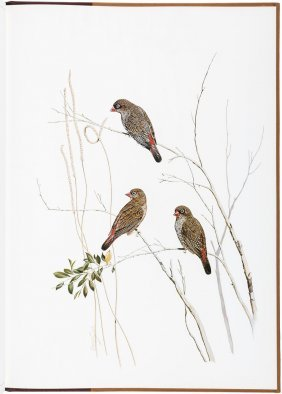 Finches Of Australia By Frank Morris