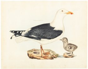 Gulls From Selby's British Ornitholgy