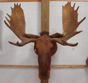 "Taxidermy Moose Head Mount, 39"" Wide"