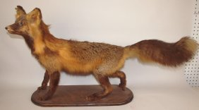 Taxidermy Mounted Red Fox