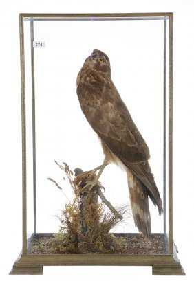 "21"" X 12"" Taxidermy Red Tail Hawk In Glass Case - Well"