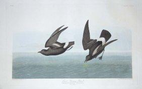 John James Audubon, Plate 340: Least Stormy Petrel