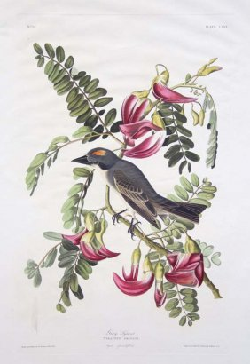 John James Audubon, Plate 170: Gray Tyrant