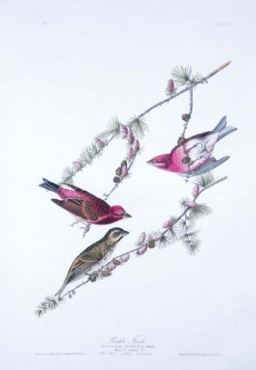 John James Audubon, Plate 4: Purple Finch
