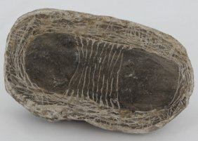 177g Preserved Tribolite Fossil On Base Material