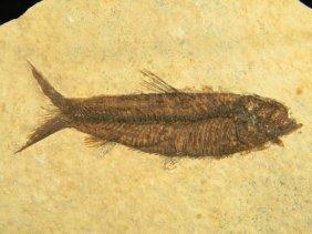 Ancient Natural History Fossil